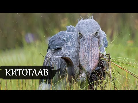 Жуткая птица Юрского Периода. НА ЧТО СПОСОБЕН КИТОГЛАВ В ДЕЛЕ