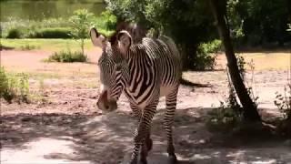 Nowy ogier w stadzie zebr