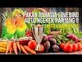 Pakan Lovebird Biar Ngekek Panjang Cepat Jinak  Mp3 - Mp4 Download