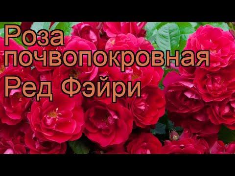 Роза почвопокровная Ред Фэйри (rose fairy rubrum) 🌿 обзор: как сажать, саженцы розы Ред Фэйри