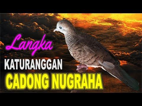 Katuranggan Perkutut Cadong Nugraha.