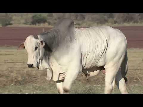 Lote 18   Galeno FIV AL Canaã   NFHC 977 Copy