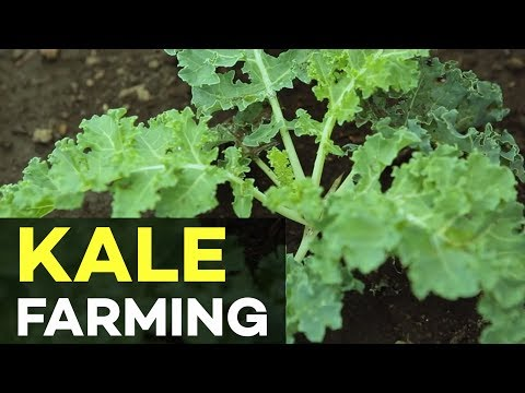 Kale plant: The Queen of all plants | Agribusiness How It Works