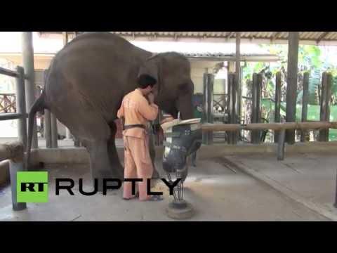 Слонихе из Тайланда изготовили новый протез на ногу