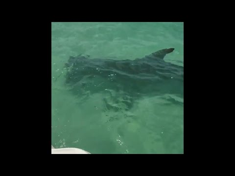Lulu - Hammerhead Shark Was Seen Circling A boat On Anna Maria Island