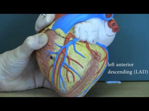 Cardiovascular System, Heart and major blood vessels