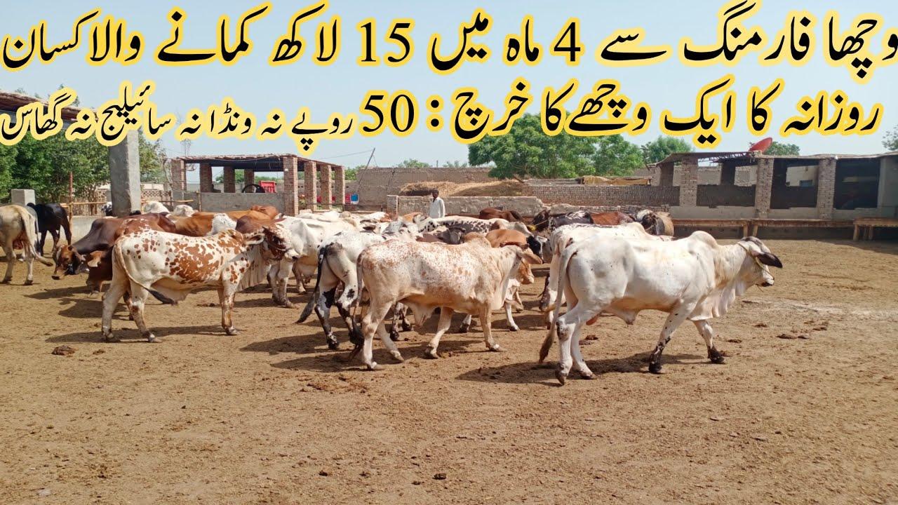 wacha farming successful business in Pakistan|wacha farm in pakistan|Asad Abbas Chishti|