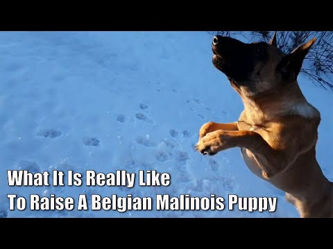 What It Is Really Like To Raise A Belgian Malinois Puppy