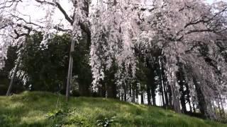 合戦場のしだれ桜 2012年 福島県二本松市岩代