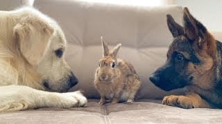 Golden Retriever and German Shepherd Puppy Play with Bunny Sam for the First Time!