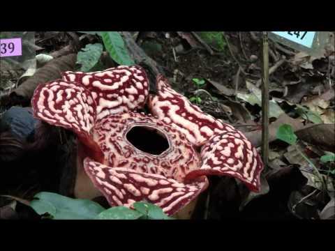 Kota Kinabalu (Mt Kinabalu &  Rafflesia), Sabah, East Malaysia, Borneo