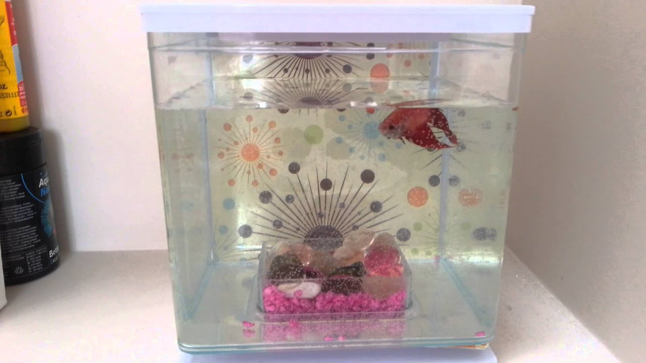 Mon poisson un combattant rouge youtube for Poisson rouge aquarium 10l