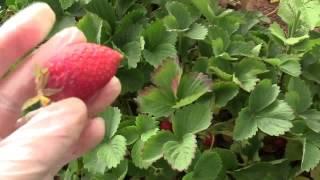 Как собирают клубнику в Портленде, США