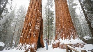Sekwoje - drzewa, które kochają... ogień!