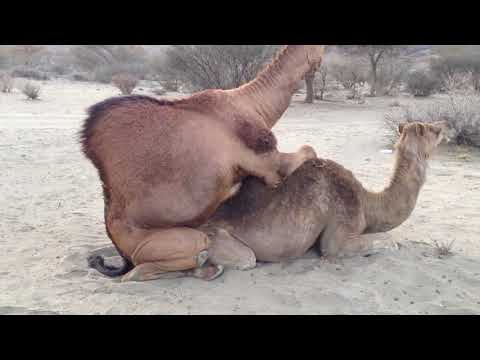 Animal   Camel Mating and Giving Birth