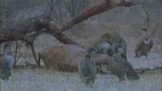 Hyenas versus Vultures