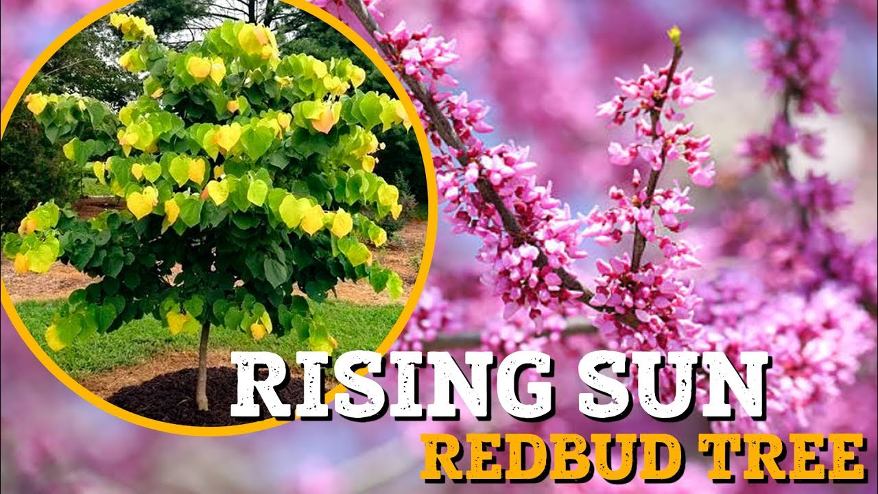 Rising Sun Redbud Rising Sun Redbud For Sale Plantingtree Com