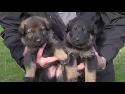 First Time Out Of The Box! Sables And Bi-color German Shepherds At Three Weeks Old.