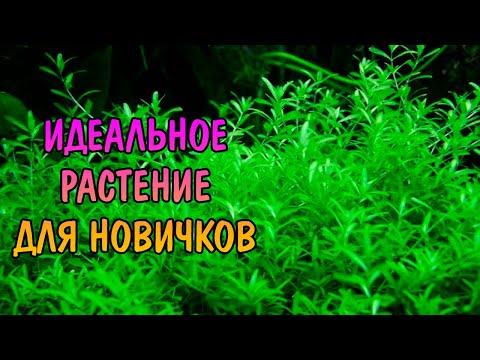 ХЕМИАНТУС ГЛОМЕРАТУС ( Hemianthus glomeratus )