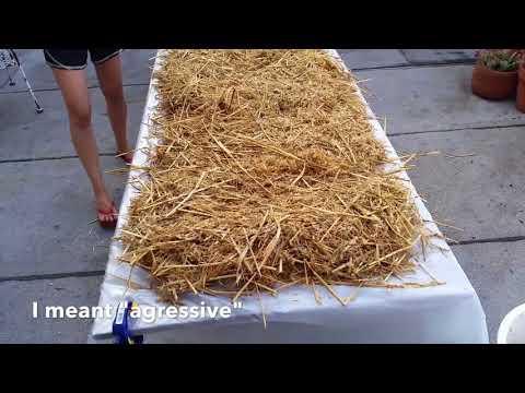 Repeat Oat Grain VS BRF Tek - Let's Grow Mushrooms - Substrate