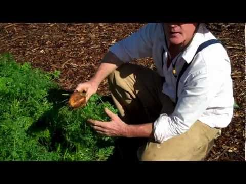 Maui Bees Farm, you pick, organic bio dynamic vegetable Garden, picking carrots