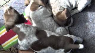 Thanksgiving German Shorthair Pointer Pups
