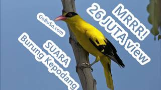 Download Mp3 Pikatan! Suara Burung Kepodang Emas Gacor Mp3   Oriolus Chinensis