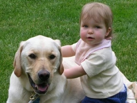 Labrador are awesome -  Labrador dog protecting Kids Compilation