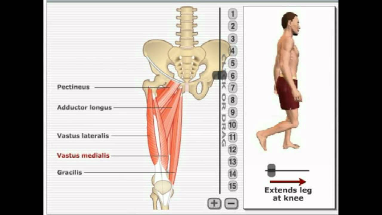 Muscles of the lower extremities - YouTube