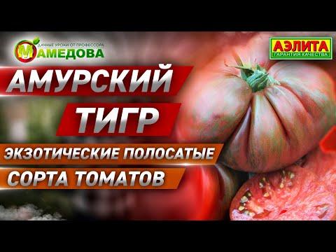 Экзотические полосатые сорта томатов. Сорт АМУРСКИЙ ТИГР.