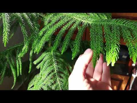 Вопрос: Какое растение называется Норфолкская сосна, каковы правила ухода?