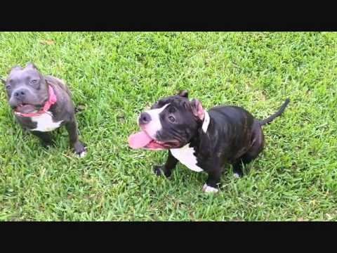 AMERICAN BULLY MIKELAND´S CHANEL - YouTube
