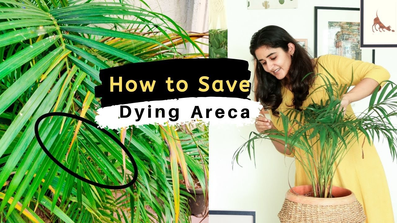 How To Save A Dying Areca Palm Youtube