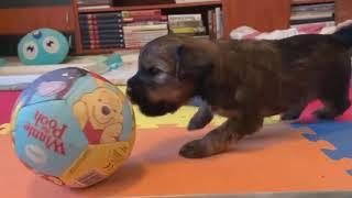 Sems Kyi Bu Tibetan terrier puppies
