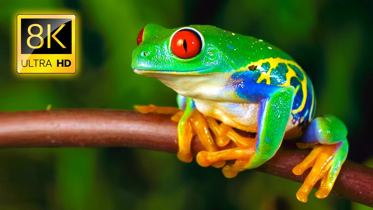 Amazing Frogs in 8K TV HDR 60FPS ULTRA HD