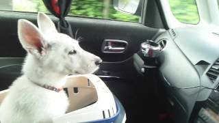 WhiteShepherd ALBA & ROSA 出勤中の車の中での様子です。 2013.05.31.