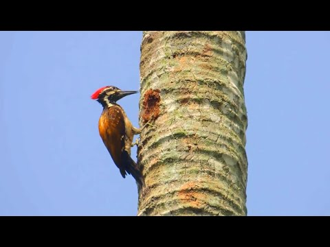 Woodpecker making nest in trees - Instrumental music with soft Piano sound