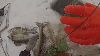 Сети на судака зимой,день второй!Кабанчики не перестают удивлять!