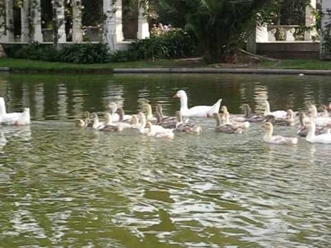 A group of ducks in Palermo park Buenos Aires