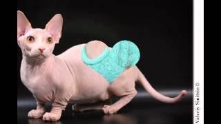 Бамбино (Bambino cat) породы кошек( Slide show)!