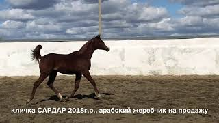кличка САРДАР 2018г.р., продажа лошадей, тел., WhatsApp +79883400208