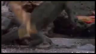 Орёл атакует. Охота орлов на видео.2017