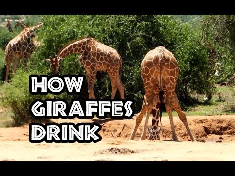 INTERESTING FACTS : How Giraffes Drink! ( + commentary ) - YouTube