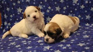 Coton Puppies For Sale - 2/12/20
