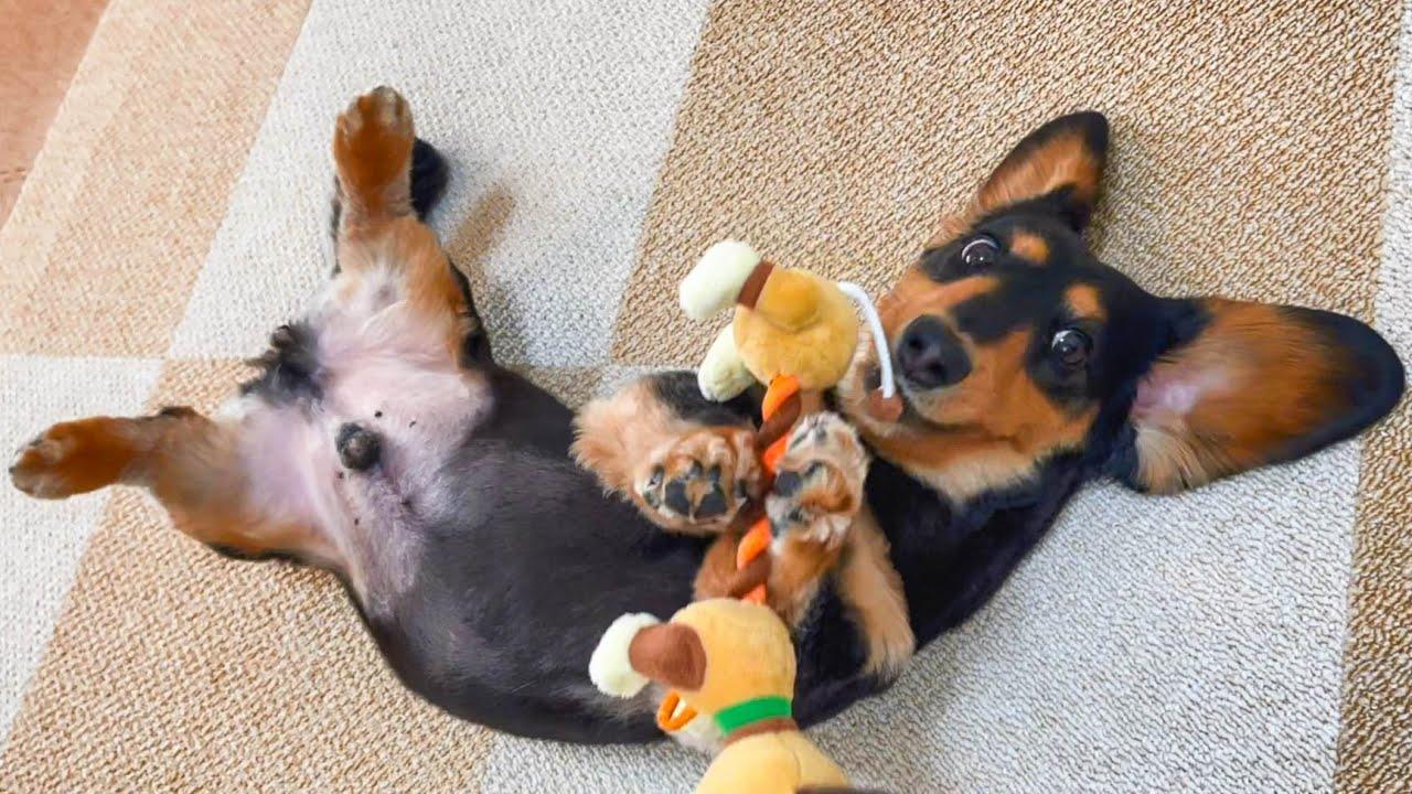 購入品紹介してたら愛犬の中々撮れないレアショット撮影出来ちゃいました♪【ダックスフンド】