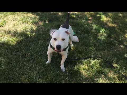 Cotton, Pit Bull Terrier Mix