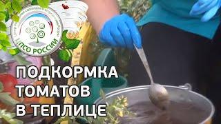 Подкормка растений томата. Чем удобрять помидоры.(Из этого ролика вы узнаете, как правильно подкармливать томат, чтобы получить высокий урожай. Тонкостями..., 2014-05-16T14:05:37.000Z)