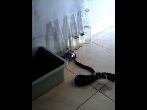 Video ular liar ganas cincin emas masuk rumah warga