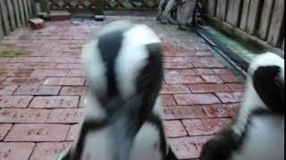 掛川花鳥園で飼育しているケープペンギン2羽が、好きなスタッフに向か...