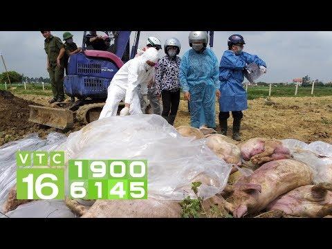 Dịch tả lợn Châu Phi càn quét 34/63 tỉnh thành | VTC16